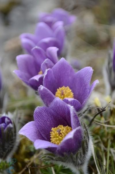 Purple row of pasqueflowers