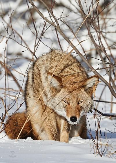 Coyote-Stare
