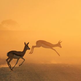 A pair of Springbok run and jump into golden sunset dust, as seen in the wilds of Namibia, southwestern Africa.