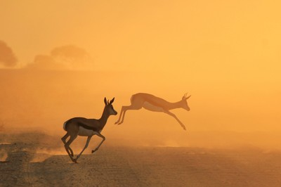 Springbok - African Wildlife - Golden Run