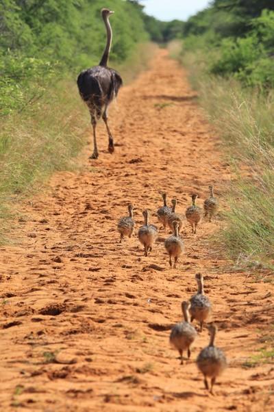 Ostrich - Following Mom