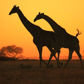 A pair of Southern African Giraffes run across an open field at sunset, as seen in the wilds of Namibia, southwestern Africa.