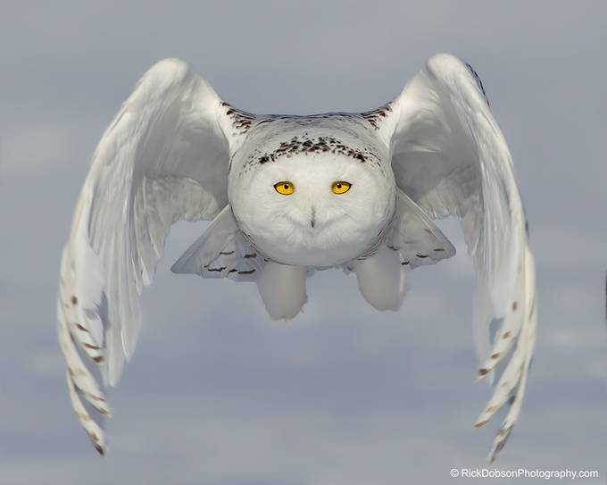 Snowy-Owl-WOW- by rickdobson - Image of the Year Photo Contest by Snapfish