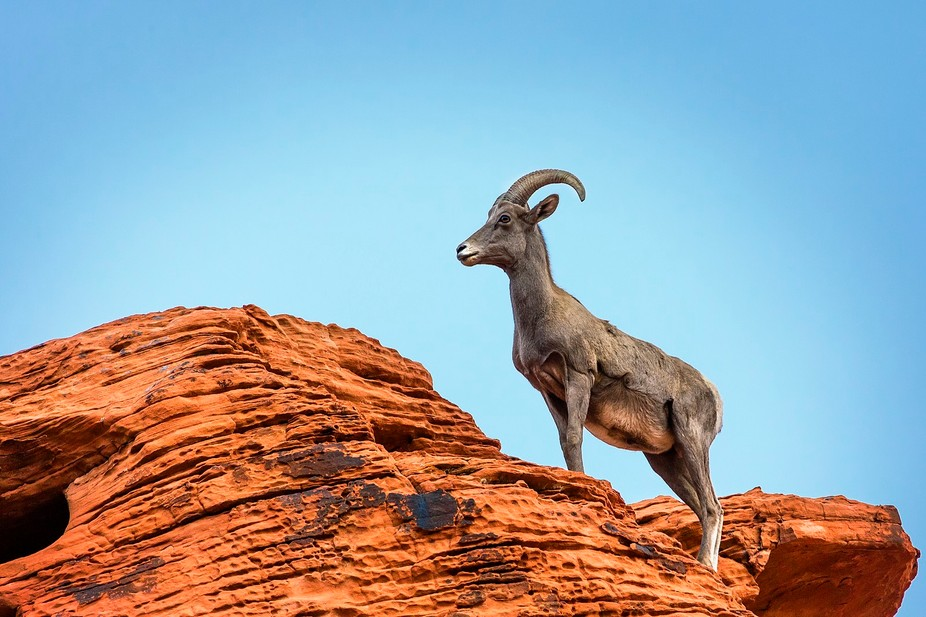 Desert Bighorn Sheep at Valley of Fire Southern Nevada ... Such Beautiful Animals!!