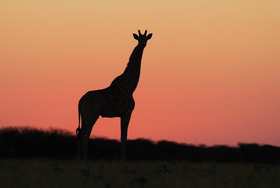 A Southern African Giraffe silhouette against a pink sky sunset, as photographed in the wilds of ...