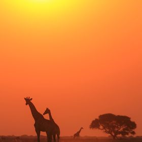 Giraffe silhouettes against a golden sunset sky with a Camel Thorn tree in the background.  As photographed in the wilds of Namibia, southwestern...