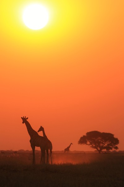 Giraffe Sunset - Golden Tranquility