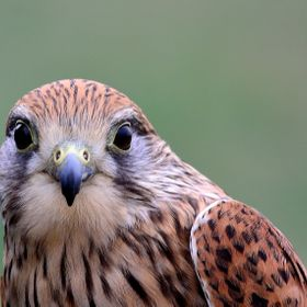 A kestrel close up shot.