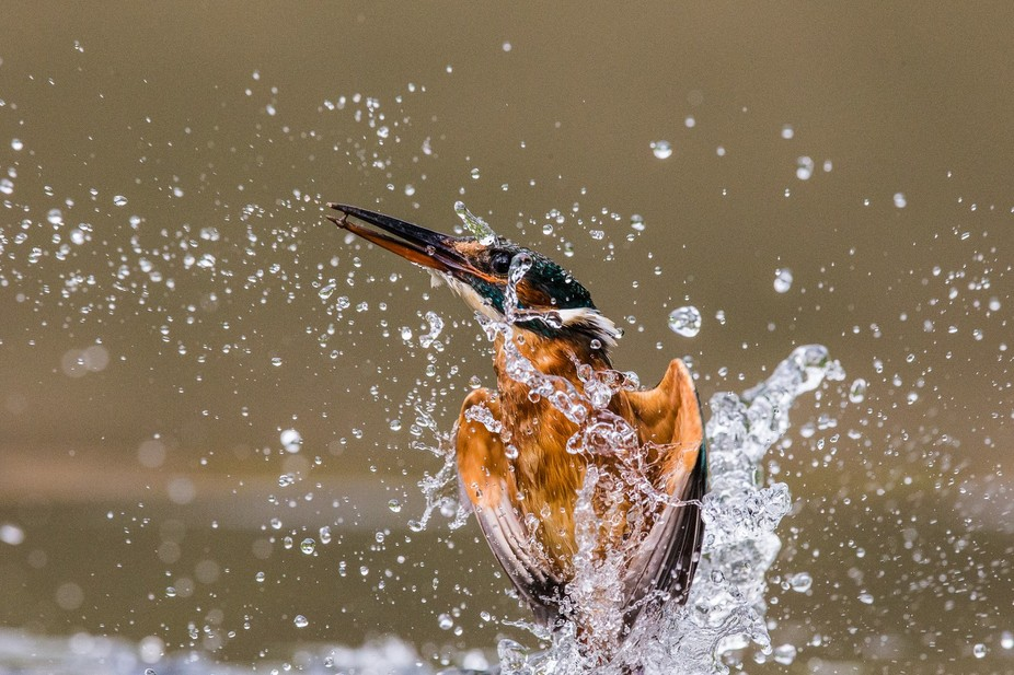 diving kingfisher missed his prey, instead she catched a small pebble