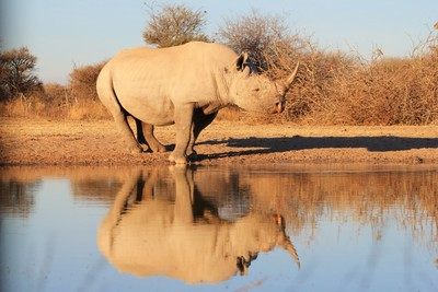 Black Rhino Portrait and Reflection
