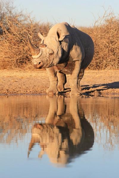 Black Rhino Reflection - Iconic Nature