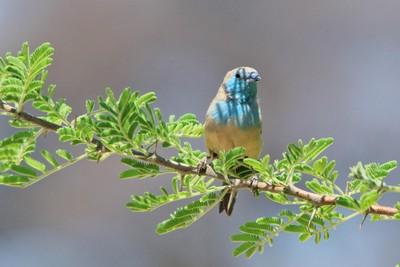 Blue Waxbill - Shaded Beauty