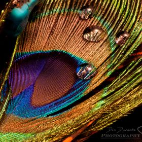 A fine art focus stacked macro still life shot of a peacock feather, water drops and turquoise.