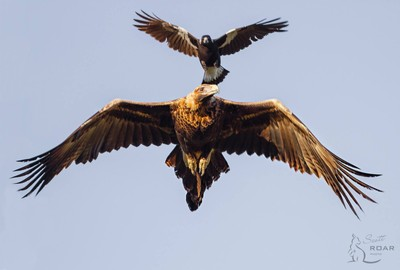 Wedge-tailed Eagle and magpie
