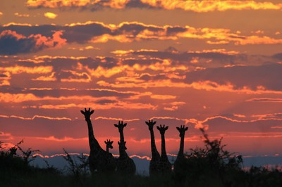 Giraffe Silhouette - Herd of Color