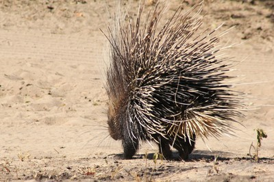 Porcupine - Safety in Quills