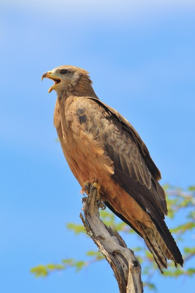 Yellow-billed Kite - Calling all Friends