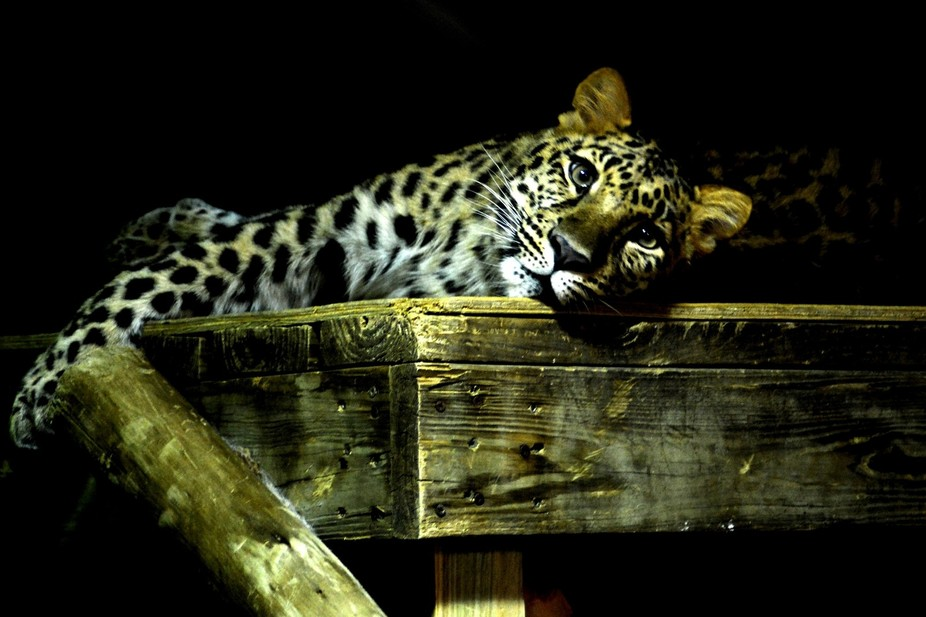 Snow Leopard relaxing at the Columbus Zoo in Ohio. It\'s uploading my specs wrong. It should be sh...