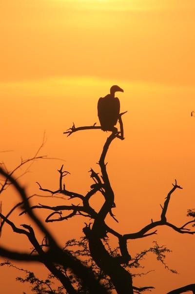 White backed Vulture - Sunset Gazer