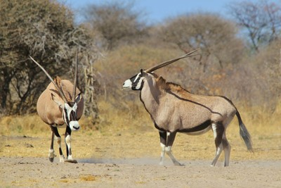 Oryx Fight - Dominance and Horns
