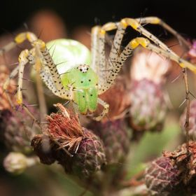 Green Lynx spider up close and personal.