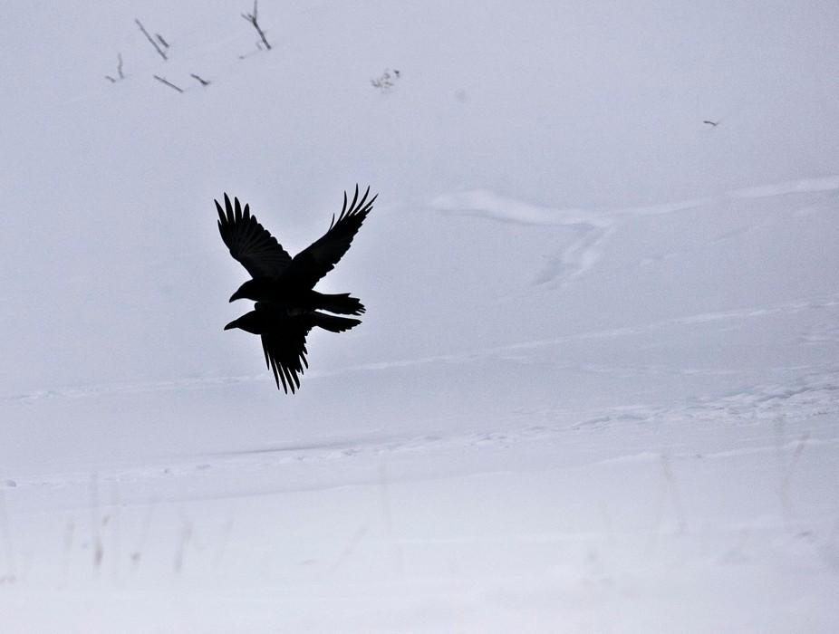 Two ravens flying in unison at Phantom lake Yellowstone National Park