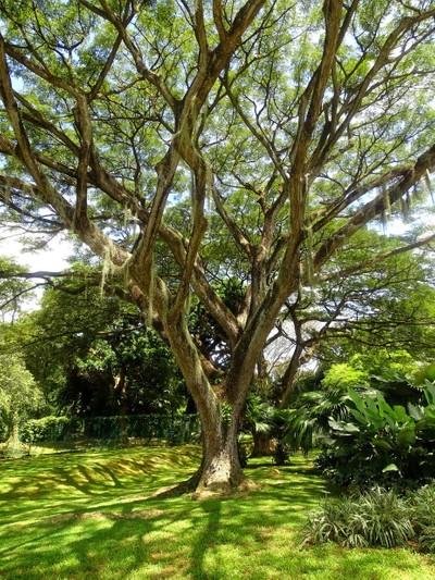 Weeping Heritage Tree