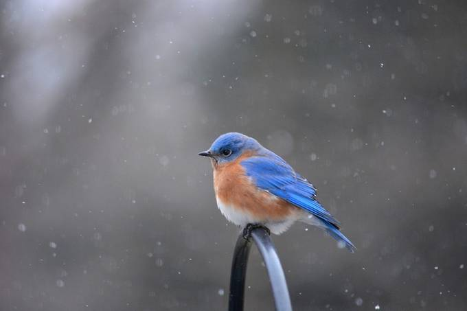 Bluebird in Snow by LazyTurtlePhotography - Snowflakes Photo Contest