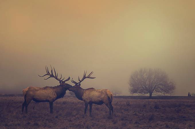 Winter Elk by liasimcox - Lost In The Fog Photo Contest