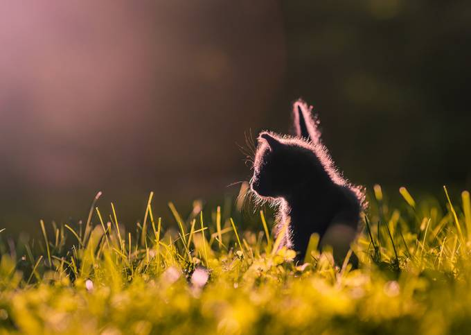 Curious Kitten II by Cbries - Magical Light Photo Contest