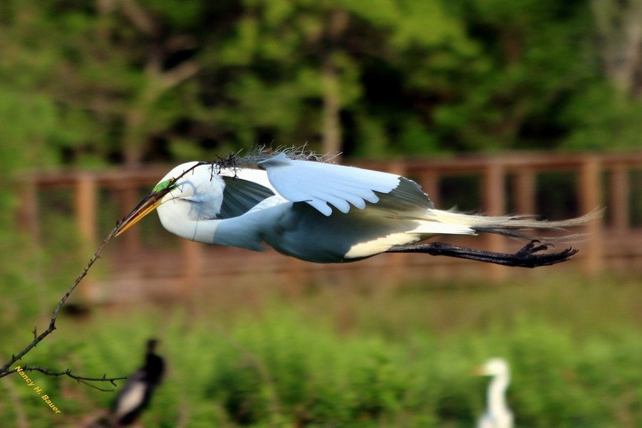 He is helping to build the nest for the spring babes, Taken in the wetlands of Port Royal, SC.