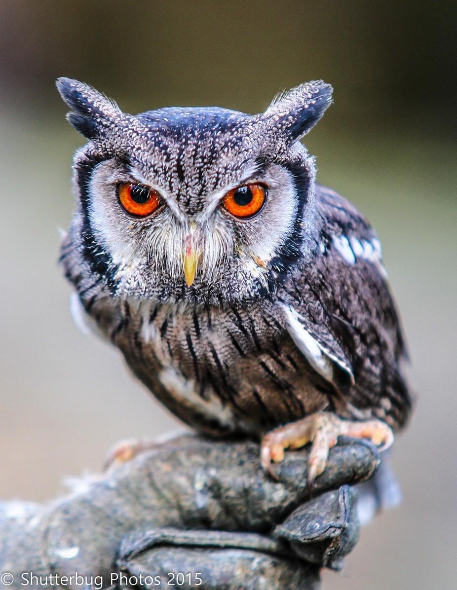 Dwarf Owl by kspindley - Beautiful Owls Photo Contest