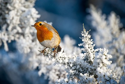 winter-robin
