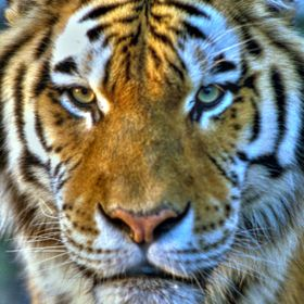 Rambo was a beautiful Siberian tiger that lived at the Houston Zoo in the early '90's. I'll never forget staring at him at very close range (thro...