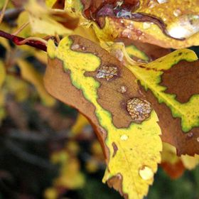 Brilliant coloring on fall leaves, drops of water magnify the surface of one of the leaves.
