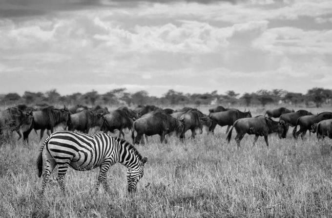 Zebra alone by joeKilanowski