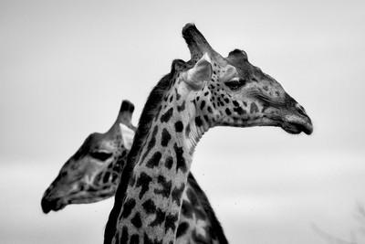 Crossed Giraffe