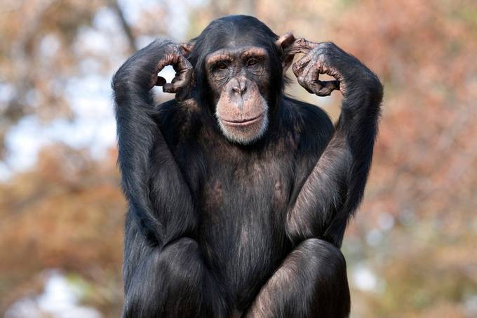 Hear no Evil by sharonmorris - Monkeys And Apes Photo Contest