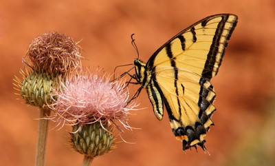 Western Swallowtail on Thistle