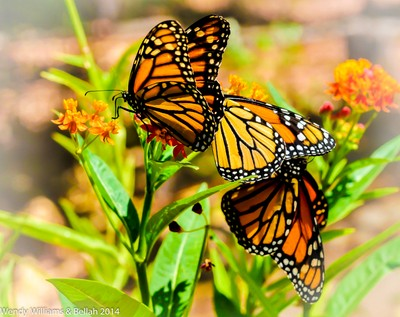 The Glory of Monarch Butterflies