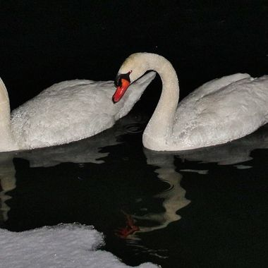 Snow Bound Swans