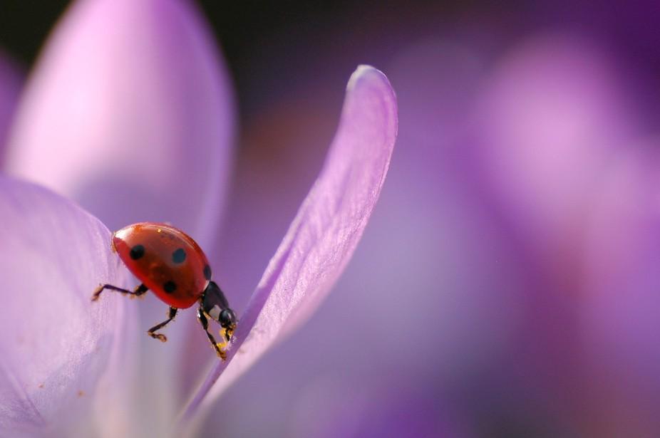 Ladybug on a crocus