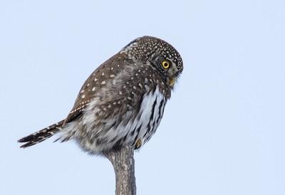 Northern Pygmy Owl_0R8A9561