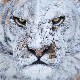 Shooting this Siberian Tiger was one of the best moments of our lives.  We had two hours to photograph him while he was running free atop a snow ...