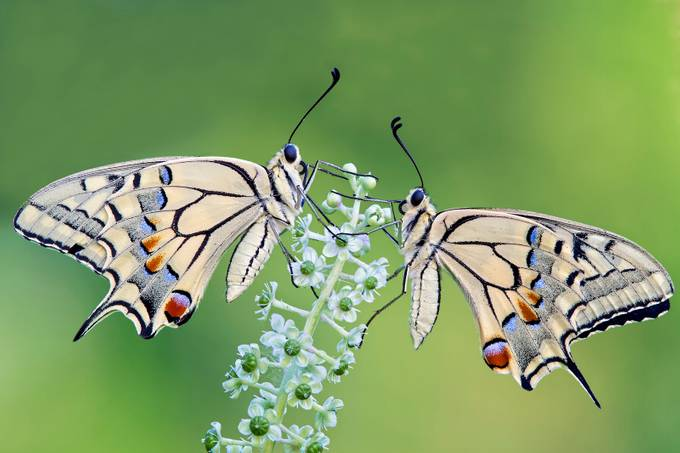 The Old World Swallowtail by PdR72 - Insects and Flowers Photo Contest