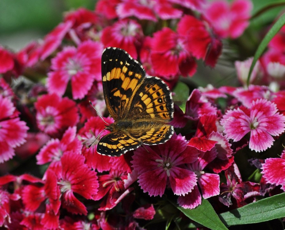 Butterfly & Dianthus