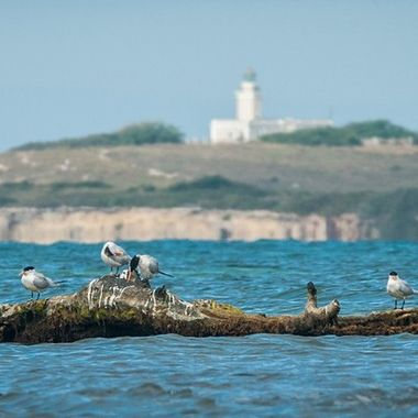 A look at the Cabo Rojo lighthouse from Pitahaya, Lajas, I find these Royal Terns on a tree the ocean has washed up close to the shore,