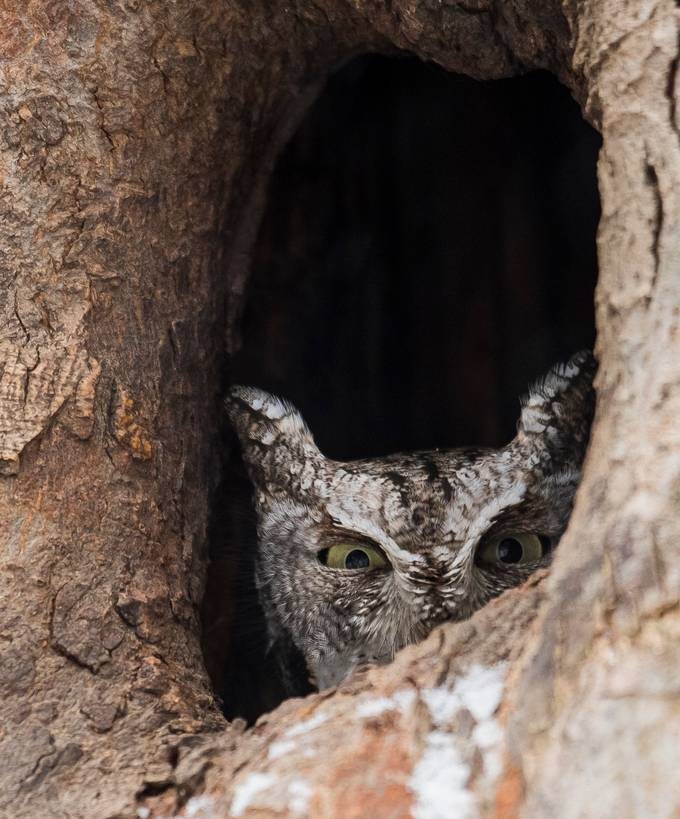 Eastern Screech Owl hiding by BrantLavery - Hiding Photo Contest