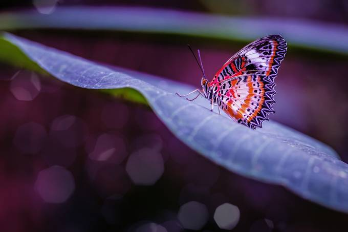 Butterfly by karlredshaw - Beautiful Butterflies Photo Contest