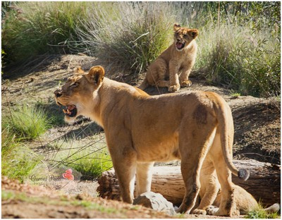 Baby Lion and Momma copy